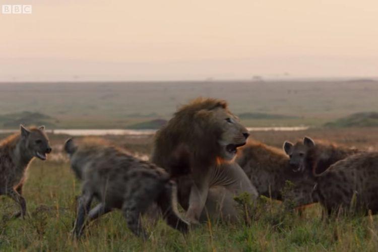 simbiosis kompetisi singa dan hyena